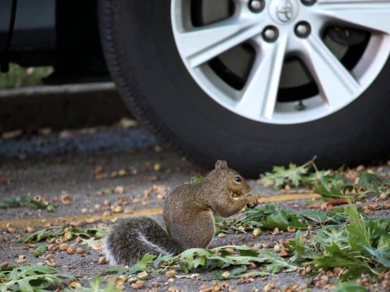 squirrel and car