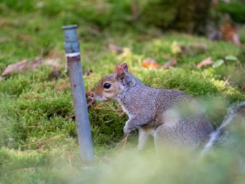 image of squirrel and sprinkler