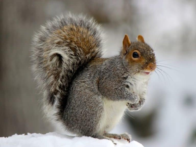 Can Squirrels Regrow Their Tails: Some Interesting Facts