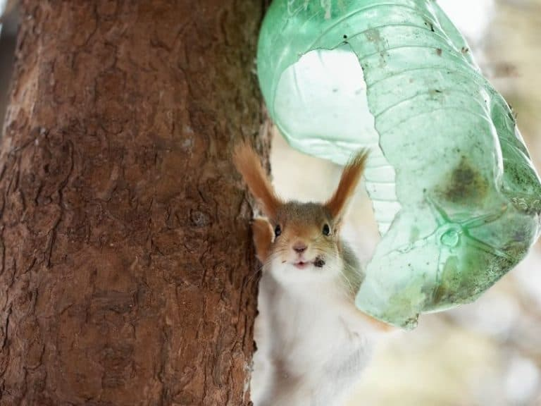 How to Trap Red Squirrels: Ultimate Guide