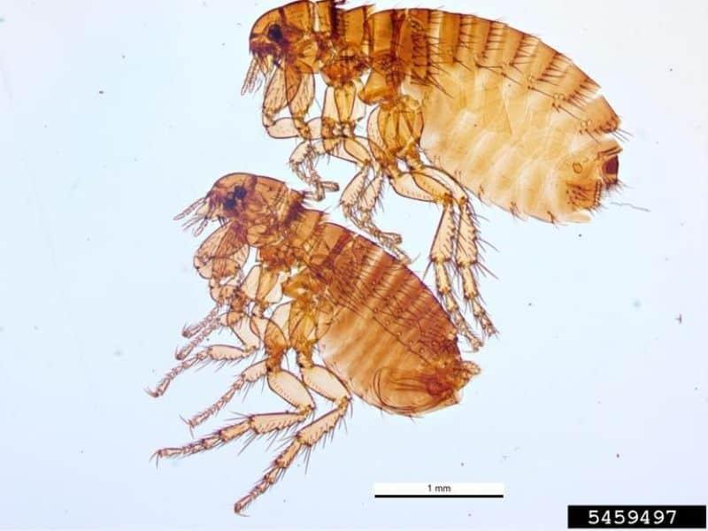 two fleas