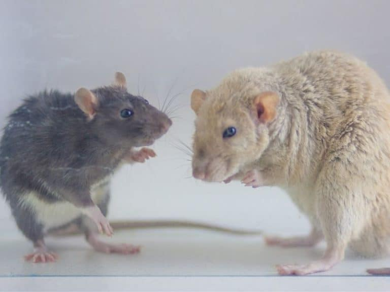 Do Rats Attack Humans or Pets: Things You Have to Know